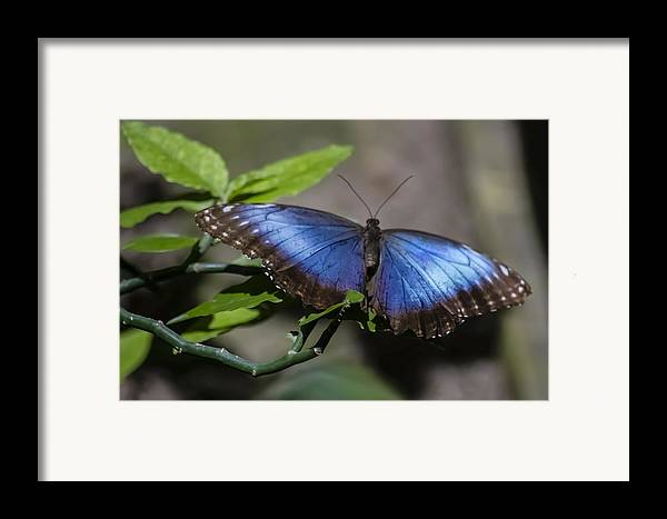 Blue Morph Butterfly Framed Print featuring the photograph Blue Morph Butterfly by Sven Brogren