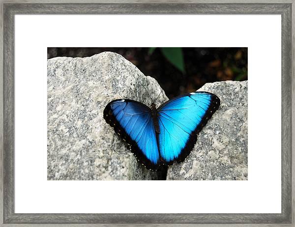 Blue Morpho Butterfly Framed Print By Eva Kaufman