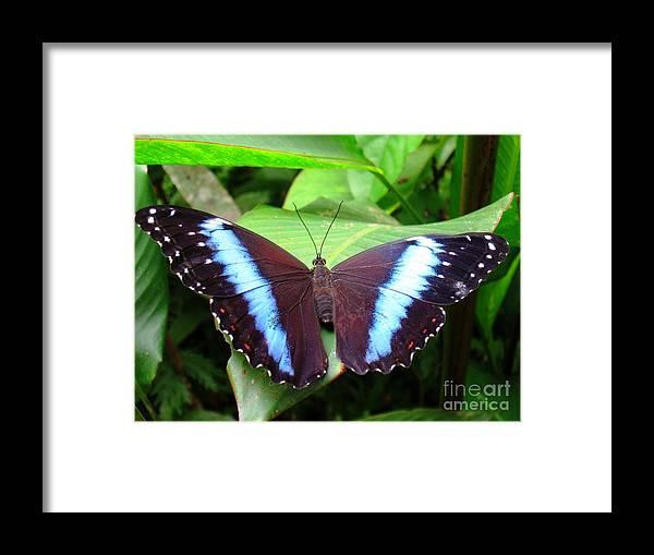 Amazon Framed Print featuring the photograph Blue Morpho I by Gart Van Gennip