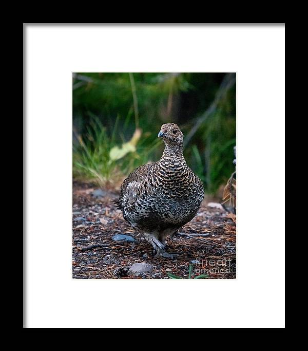 Grouse Framed Print featuring the photograph Blue Or Dusky Grouse Portrait by Timothy Flanigan and Debbie Flanigan Nature Exposure