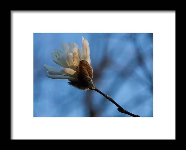 Magnolia Framed Print featuring the photograph Blue Sky Magnolia Blossom - Dreaming Of Spring by Georgia Mizuleva