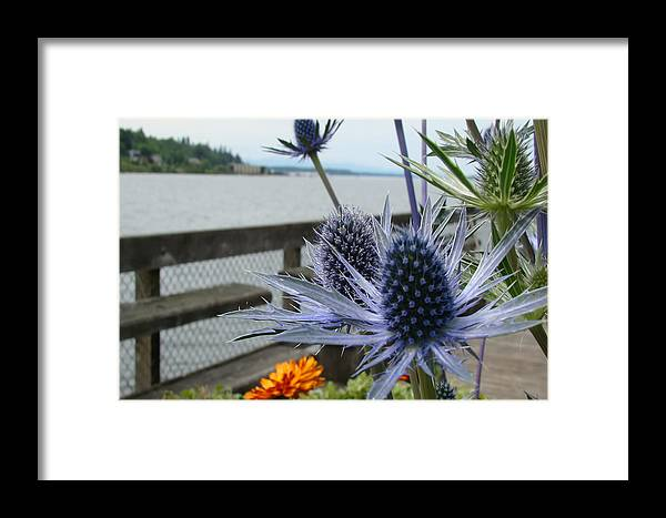 Flowers Framed Prints Framed Print featuring the photograph Blue Star Sea Holly by Beverly Guilliams