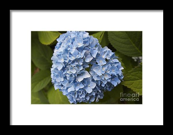 Flower Framed Print featuring the photograph Blue by William Norton