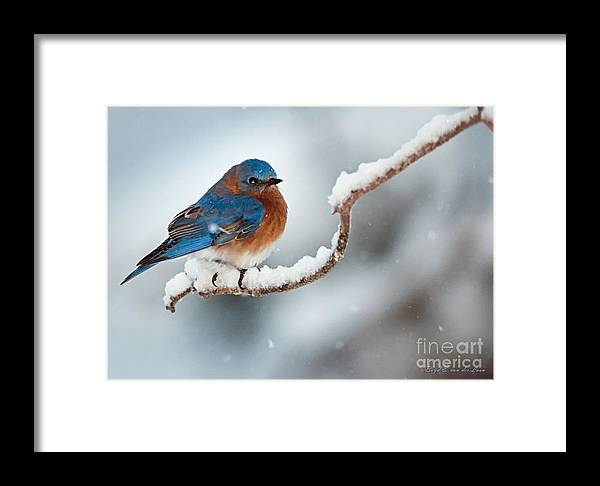 Bluebird Framed Print featuring the photograph Bluebird In Snow by Boyd E Van der Laan