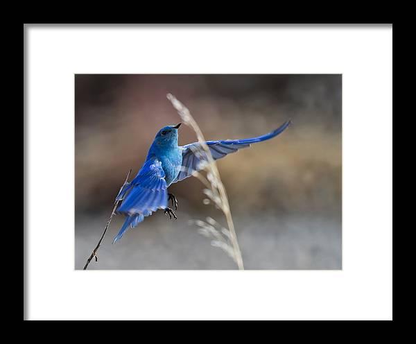 Birds Framed Print featuring the photograph Bluebird Taking Flight by James Futterer