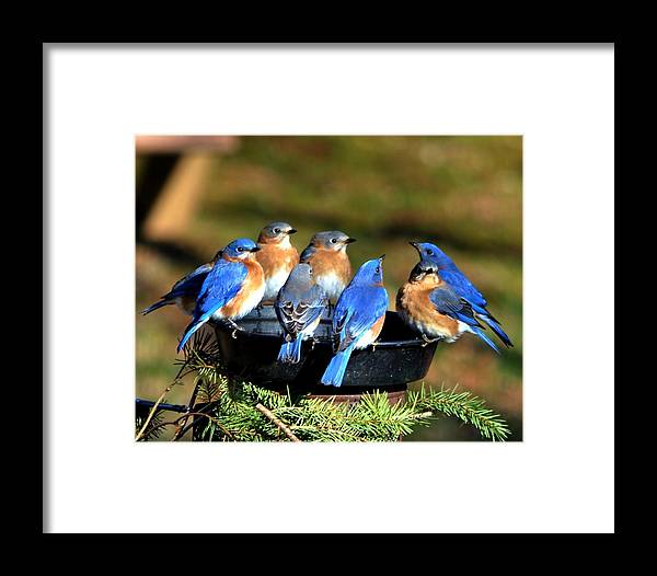 Bluebirds Framed Print featuring the photograph Bluebird Watering Hole by William Fox
