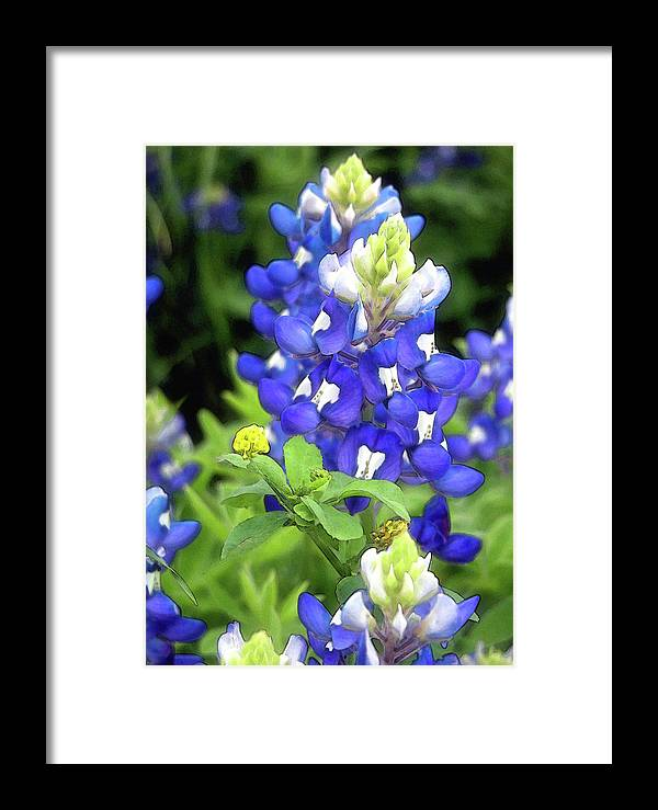 Bluebonnet Framed Print featuring the photograph Bluebonnets Blooming by Stephen Anderson
