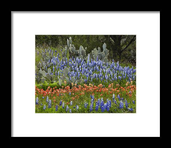 00442674 Framed Print featuring the photograph Bluebonnets Paintbrush And Prickly Pear by Tim Fitzharris