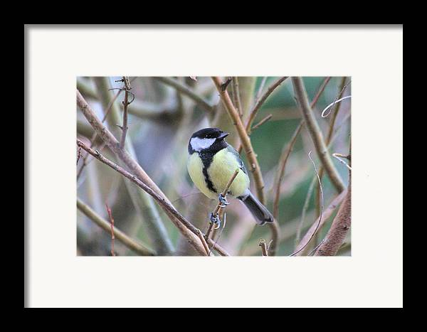Bluetit Framed Print featuring the photograph Bluetit by Gordon Auld