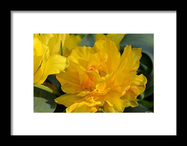Blushing Yellow Framed Print featuring the photograph Blushing Yellow by Maria Urso