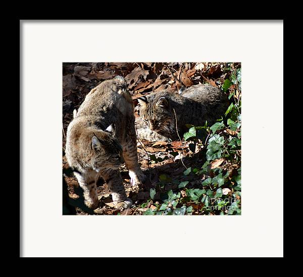 Wildlife Framed Print featuring the photograph Bobcat Couple by Eva Thomas