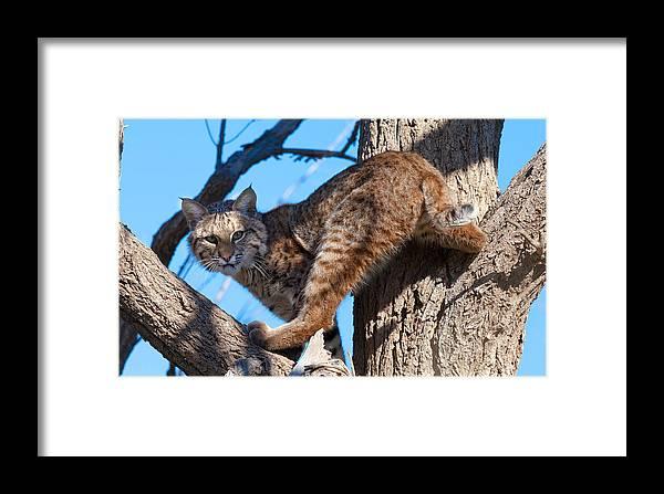Bobcat Framed Print featuring the photograph Bobcat by Mark Short