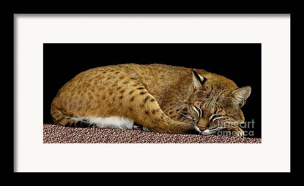 Bobcats Framed Print featuring the photograph Bobcat by Rose Santuci-Sofranko