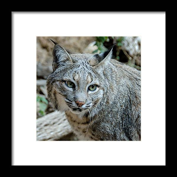 Bobcat Framed Print featuring the photograph Bobcat's Gaze by Evelyn Harrison