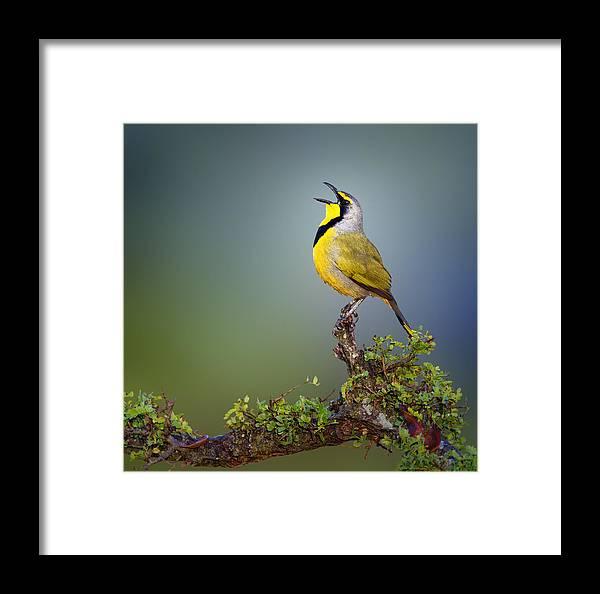 Bokmakierie Framed Print featuring the photograph Bokmakierie Bird - Telophorus Zeylonus by Johan Swanepoel