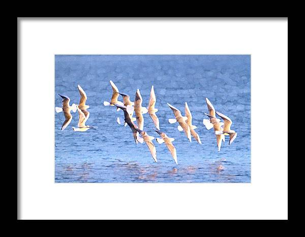 Birds Framed Print featuring the photograph Bonaparte's Gulls 5 by Bob Richter