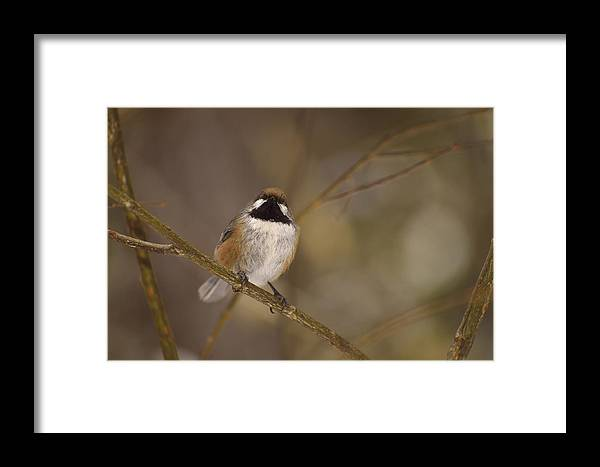 Boreal Chickadee Framed Print featuring the photograph Bonding Boreal by Joshua McCullough