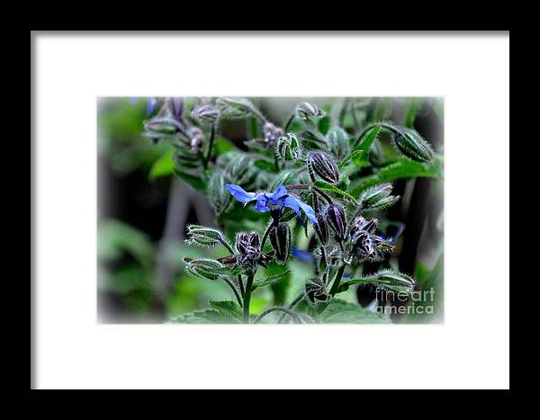 Borage Framed Print featuring the photograph Borage by Tanya Searcy