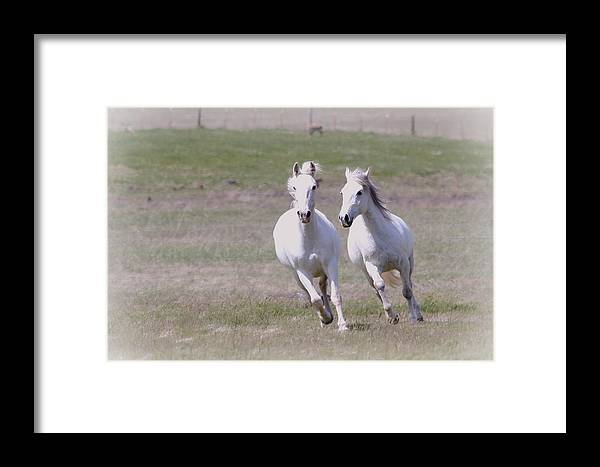 Horses Framed Print featuring the photograph Lipizzaner Stallions by Athena Mckinzie