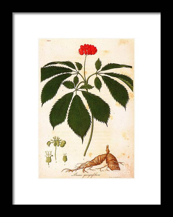 1810s Framed Print featuring the photograph Botany: Ginseng by Granger