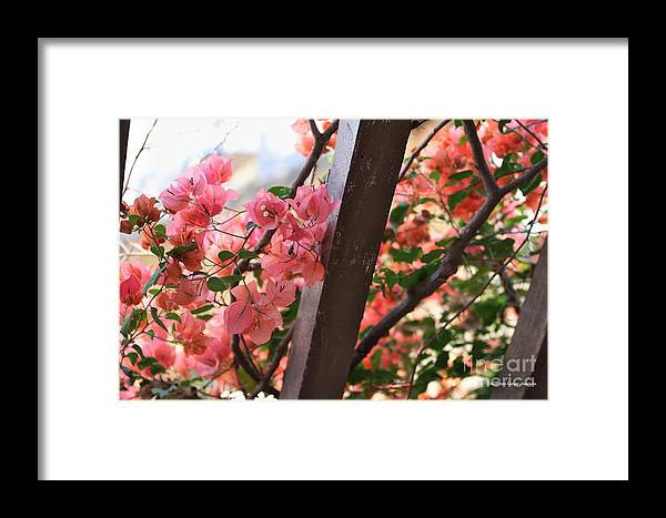 Bougainvillea Framed Print featuring the photograph Bougainvillea On Trellis by Audreen Gieger