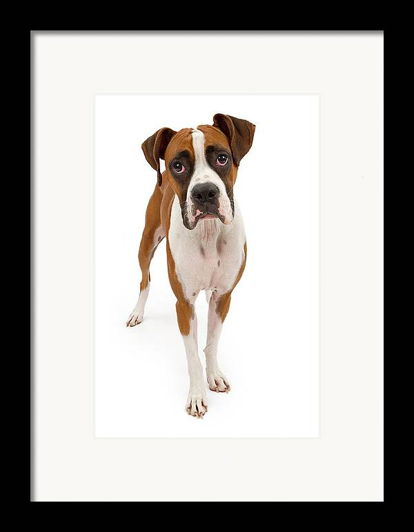 Dog Framed Print featuring the photograph Boxer Dog Isolated On White by Susan Schmitz