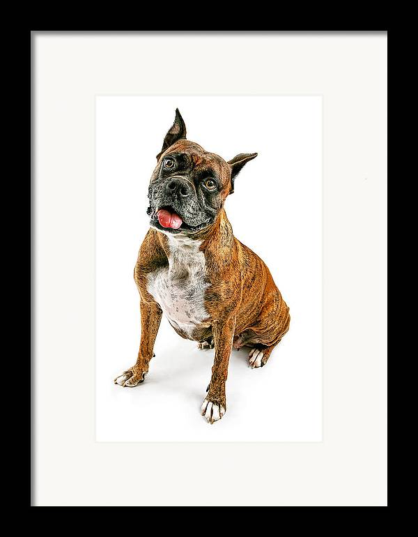 Affectionate Framed Print featuring the photograph Boxer Dog Looking Forward by Susan Schmitz