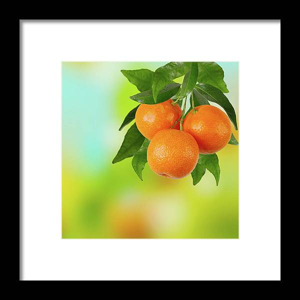 Hanging Framed Print featuring the photograph Branch Of Tangerines by Sashahaltam