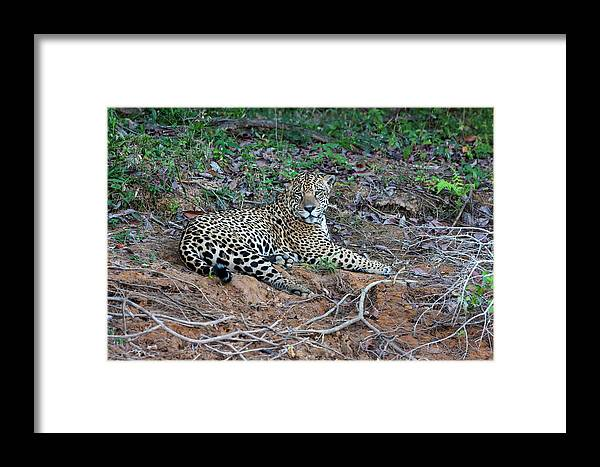 Animal Framed Print featuring the photograph Brazil, Mato Grosso, The Pantanal, Rio by Ellen Goff
