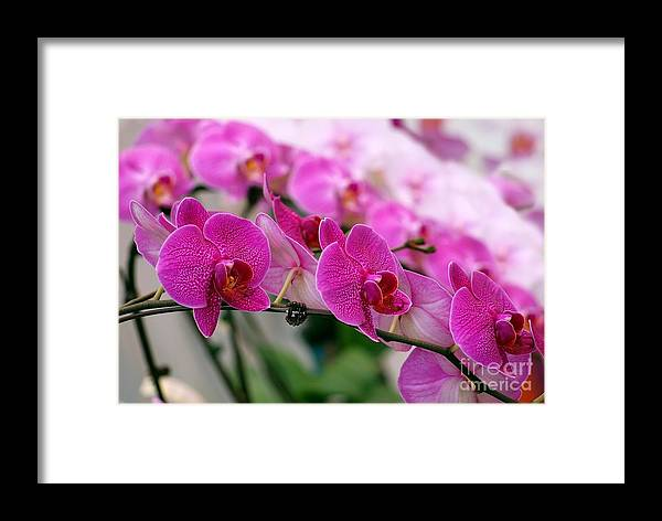 Orchid Framed Print featuring the photograph Bright And Purple Butterfly Orchids by Yali Shi