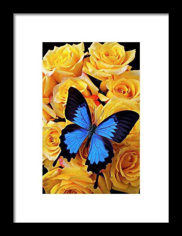 Animal Themes Framed Print featuring the photograph Bright Blue Butterfly On Yellow Roses by Garry Gay