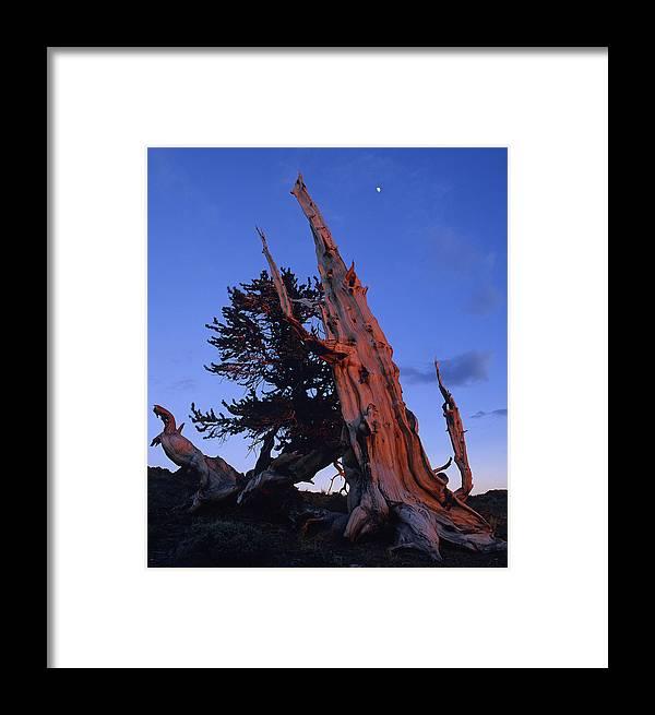Bristlecone Framed Print featuring the photograph Bristlecone Pine by Susan Rovira