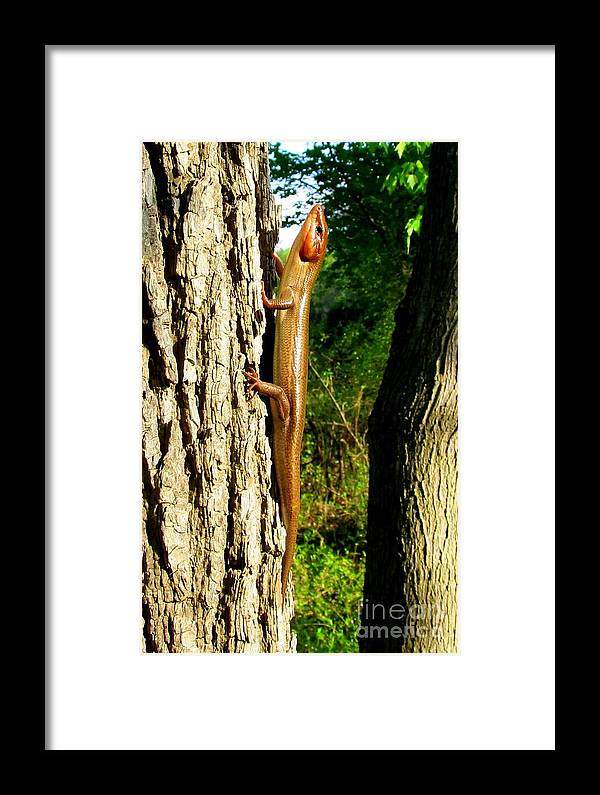 Tree Lizard Images Mature Broad Headed Skink Images Adult Blue Tailed Skink Images Adult 5 Lined Skink Images Forest Lizard Prints Nature Images Natural Prints Wildlife Biodiversity Chesapeake Wetland Ecosystems Forest Creatures Colorful Critters Orange Headed Lizard Images Lizard Pics Maryland Reptile Images Lizards Of North America Big Tan Lizard Orange Headed Lizard Copper Headed Lizard North American Reptiles Biodiversity Preservation Animals Prints Framed Print featuring the photograph Broad Headed Skink by Joshua Bales