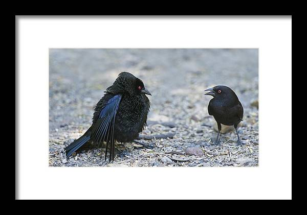 Bronzed Cowbird Framed Print featuring the photograph Bronzed Cowbird Display by Anthony Mercieca