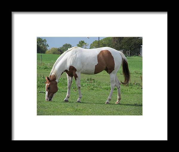 Horses Framed Print featuring the photograph Brown And White Painted Horse by Tina M Wenger