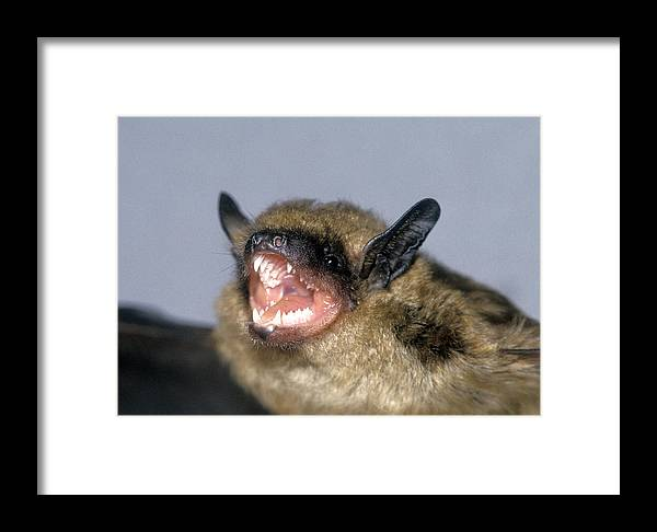 Animal Framed Print featuring the photograph Brown Bat Eptesicus Fuscus by G Ronald Austing