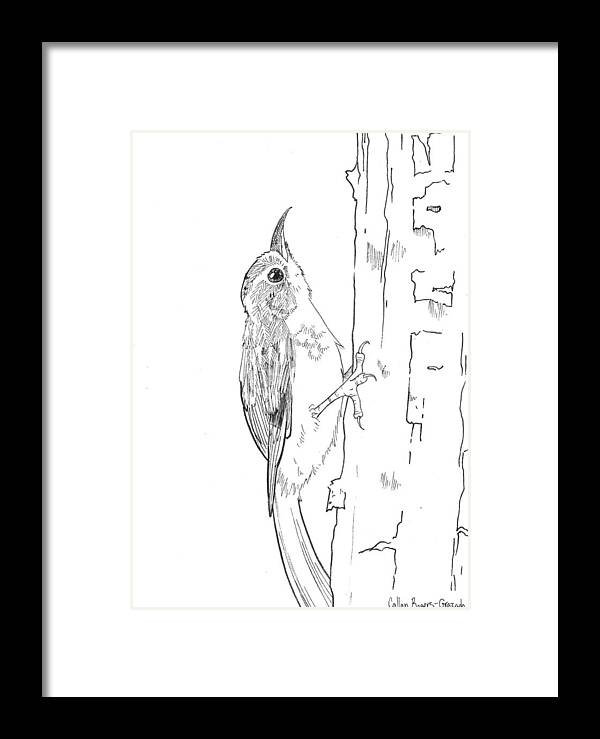 Brown Creeper Framed Print featuring the drawing Brown Creeper by Callan Rogers-Grazado