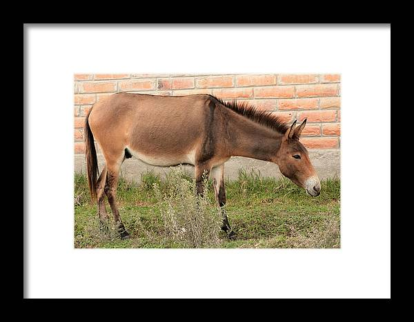 Horse Framed Print featuring the photograph Brown Mule In Cotacachi by Robert Hamm