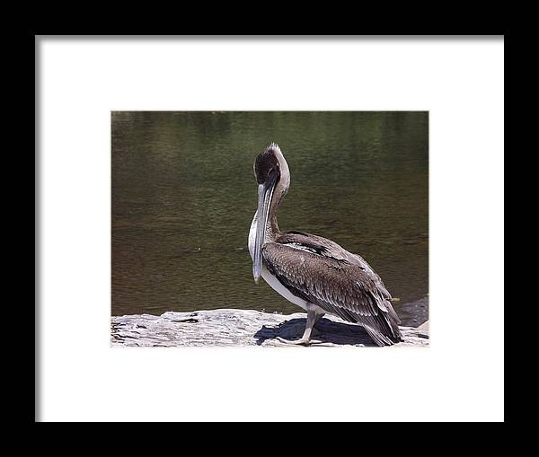 Framed Print featuring the photograph Brown Pelican Tall by Randy Esson