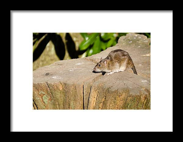 Animal Framed Print featuring the photograph Brown Rat On Log by David Head