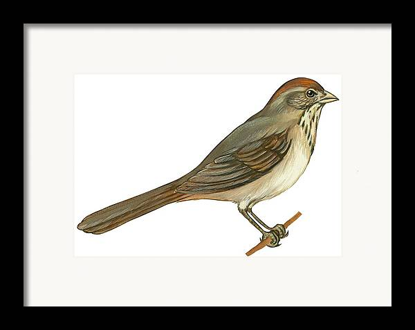 No People; Horizontal; Side View; Full Length; White Background; One Animal; Wildlife; Close Up; Illustration And Painting; Zoology; Bird; Branch; Wing; Feather; Perching; Beak; Tail; Brown; Brown Towhee; Pipilo Fuscus Framed Print featuring the drawing Brown Towhee by Anonymous