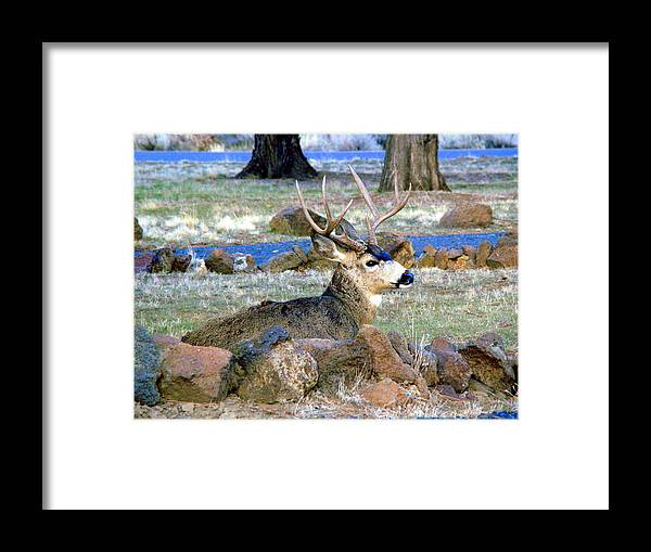 Deer Framed Print featuring the photograph Buck having a rest by Lisa Rose Musselwhite