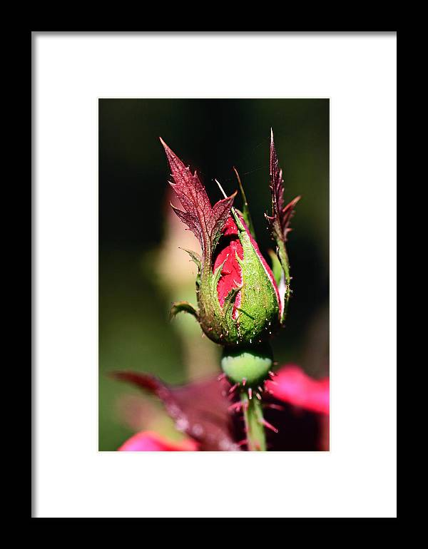 Rose Framed Print featuring the photograph Budding Beauty by Shelby Waltz