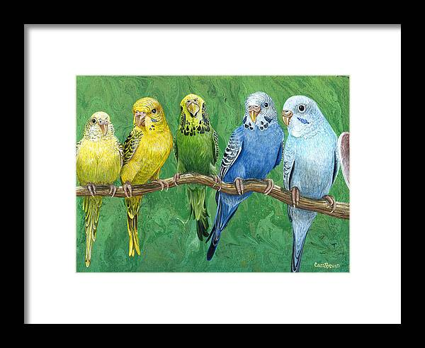 budgie band