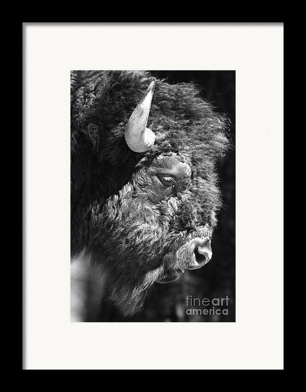 Nature Framed Print featuring the photograph Buffalo Portrait by Robert Frederick