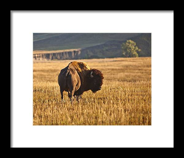 Buffalo Framed Print featuring the photograph Buffalo Watching by Mary Kay Thompson