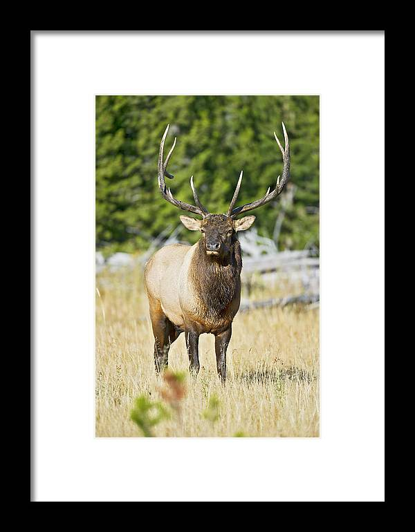 Bull Framed Print featuring the photograph Bull Elk IIII by Gary Langley