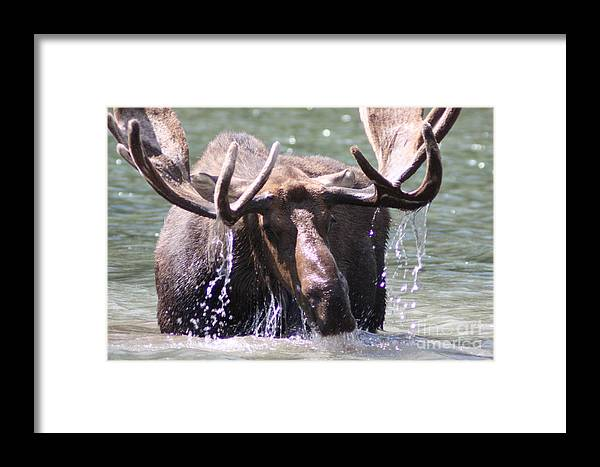 Bull Moose Framed Print featuring the photograph Bull Moose Feeding by Dave Knoll