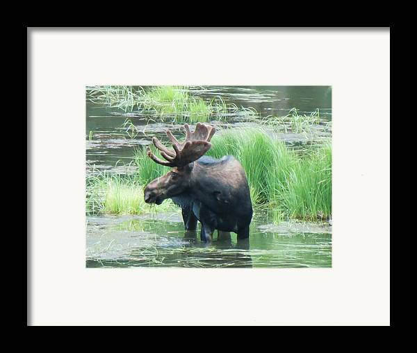 Moose Framed Print featuring the photograph Bull Moose In The Wild by Feva Fotos