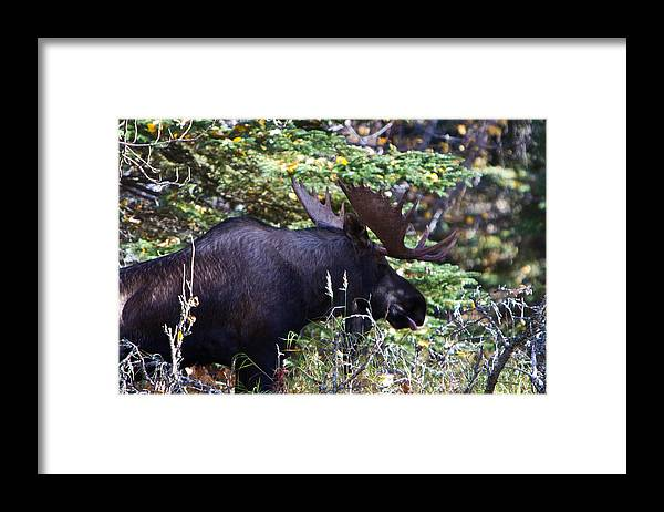 Framed Print featuring the photograph Bull Moose by Richard Jack-James
